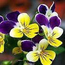 Viola - Yellow & Purple by Bev Pascoe