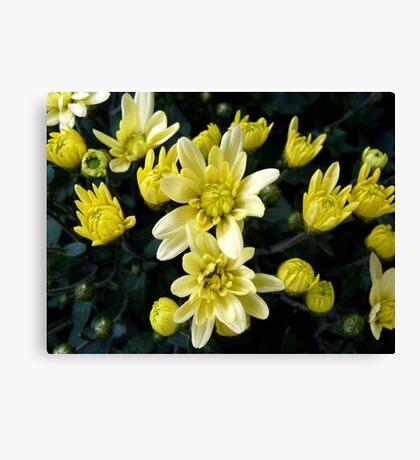 Rising stars - potted chrysanthemum Canvas Print