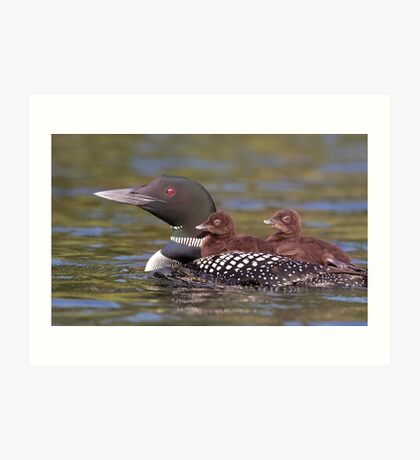 Common loon swimming with two chicks on her back Art Print
