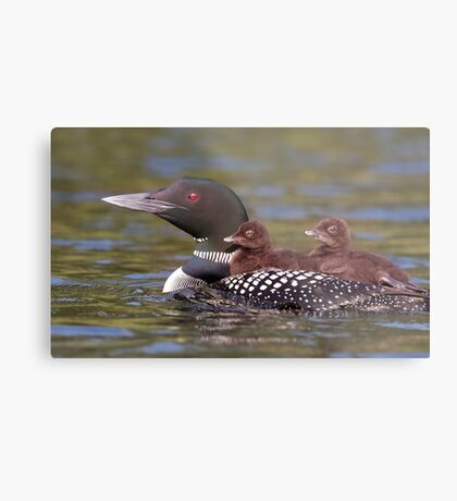 Common loon swimming with two chicks on her back Metal Print