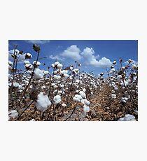 Cotton Field Photographic Print