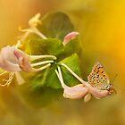 Phengaris teleius butterfly on honey suckle flowers by JBlaminsky
