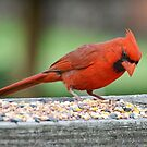 Cardinal by William Brennan