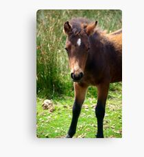 Young Pony Canvas Print