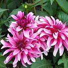 Pretty in Pink Dahlias by MidnightMelody