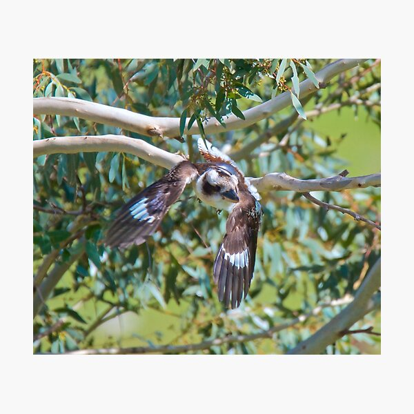 KINGFISHER ~ Kookaburra H3R9H449 by David Irwin Photographic Print