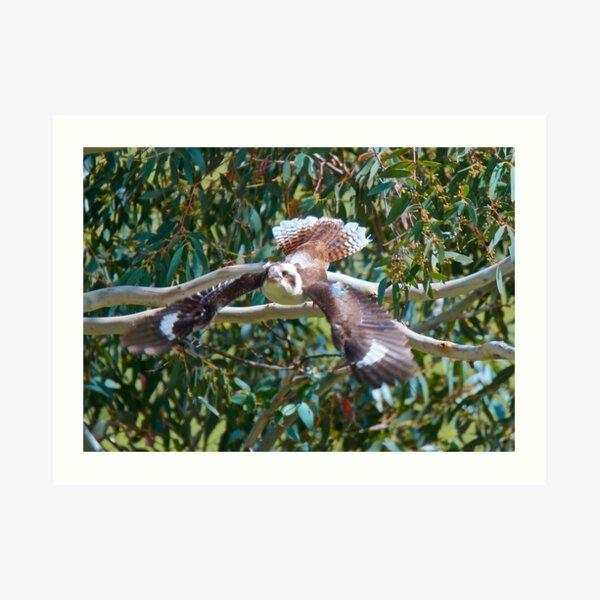 KINGFISHER ~ Kookaburra by David Irwin Art Print
