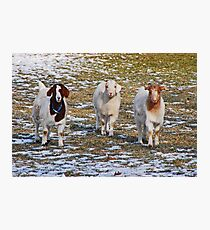 The Three Goats Photographic Print