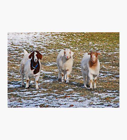 The Three Goats Photographic Print