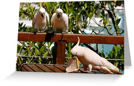 3 very cheeky birds!  Hamilton Is.  Queensland.  by Margaret Stanton