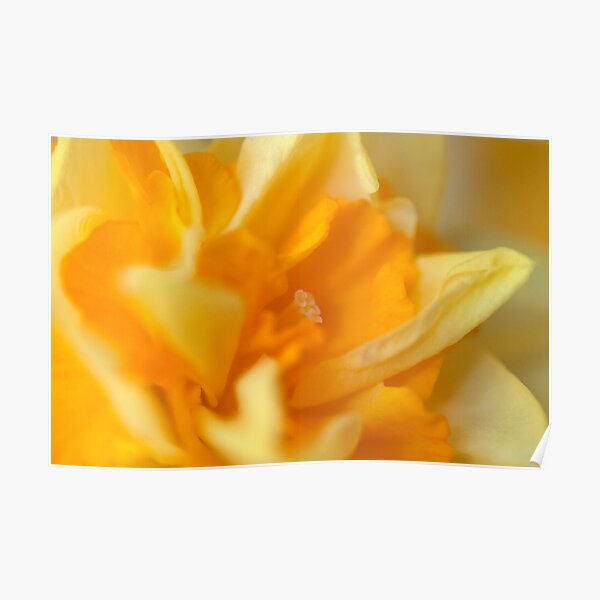 Double Daffodil Poster