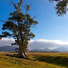 Cazneaux Tree, Study #3, Wilpena, South Australia. by johnrf