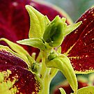 Coleus.........Close Up by ctheworld