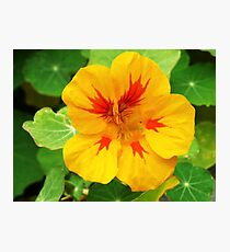 Yellow nasturtium Photographic Print