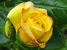 Orange Tipped, Yellow Rose by lynn carter