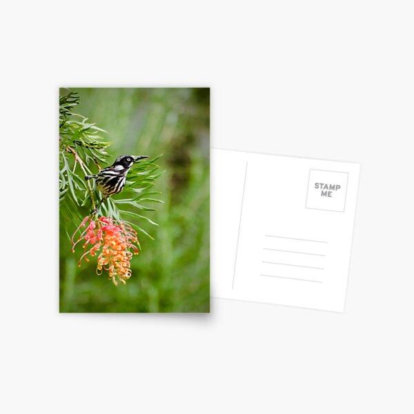 Finding Nectar - New Holland Honeyeater Postcard