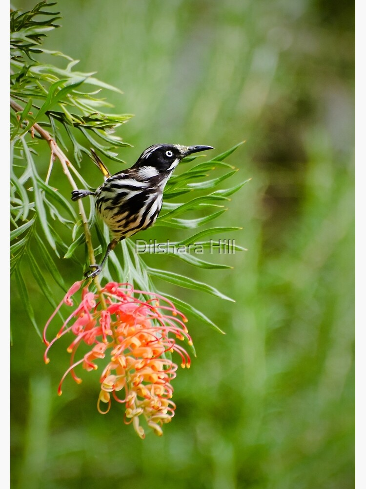 Finding Nectar - New Holland Honeyeater by dilshara