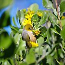 Grey-backed Silvereye by Dilshara Hill