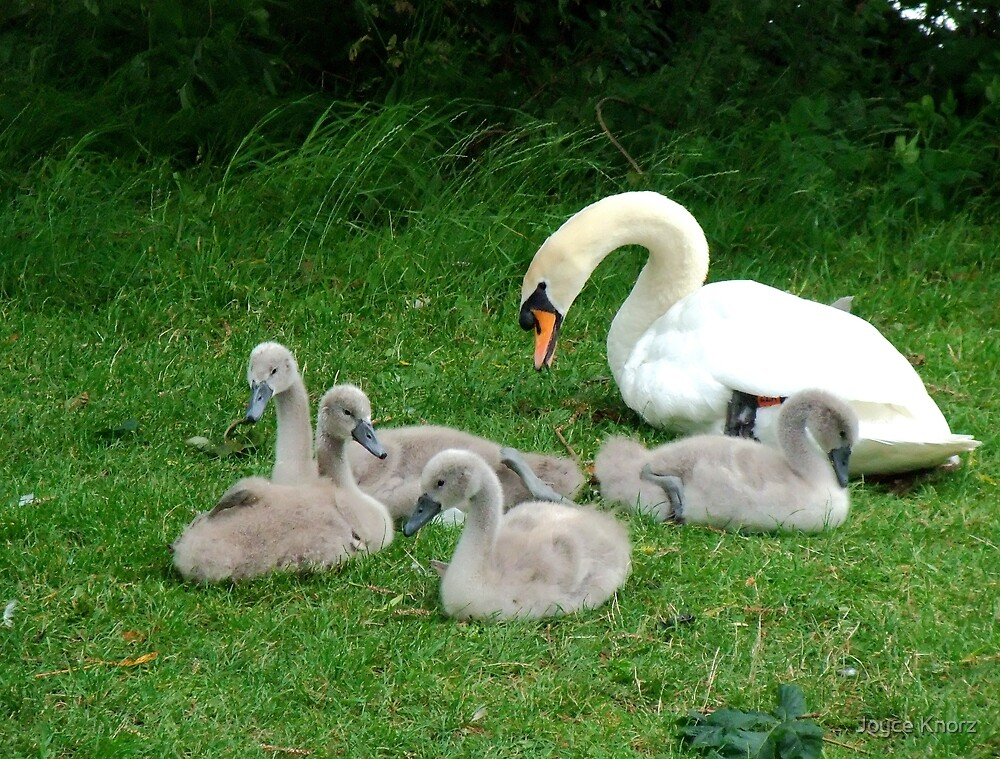 Mother swan and little ones by Joyce Knorz