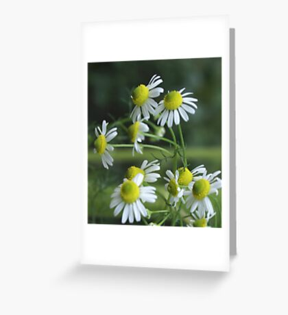Chamomile in bloom; Lets Have Tea! Greeting Card