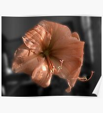 Peach Amaryllis Poster