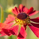 Red Echinacea cone flower by SteveHphotos