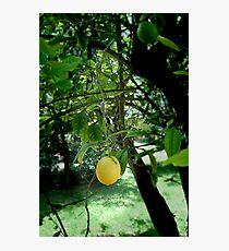 One lone ripe lemon Photographic Print