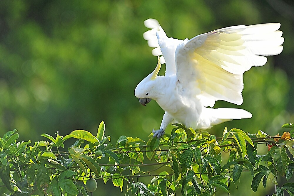 A Sulphur Crested Cockatoo. Brisbane, Queensland, Australia. by Ralph de Zilva
