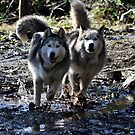 Husky Siblings by Angie O'Connor