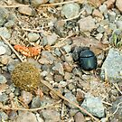 Dung Beetle with Dung Ball by Sue Robinson