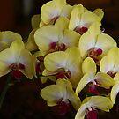 Yellow Phalaenopsis by Gilberte