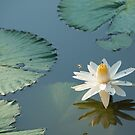 Water Lilly by Clive S
