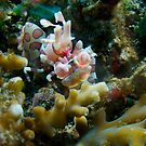 Harlequin shrimp by richymac
