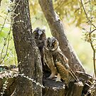 Long-eared Owls Young Birds by Sue Robinson