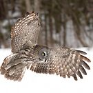 Great grey owl in flight over a snow covered field by Jim Cumming