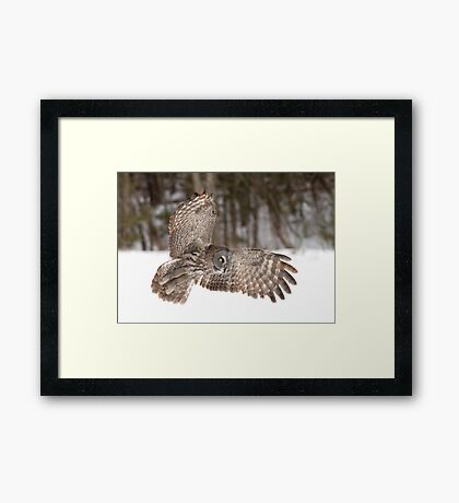 Great grey owl in flight over a snow covered field Framed Print