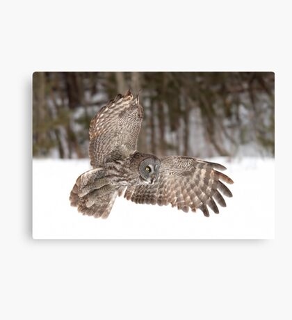 Great grey owl in flight over a snow covered field Canvas Print