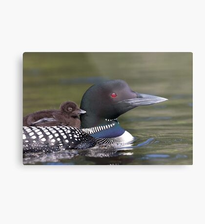 Common loon swimming with chick on her back Metal Print
