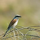 Red-backed Shrike on Lesvos by Sue Robinson
