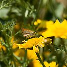 Small Skipper Butterfly on Lesvos by Sue Robinson