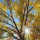 Cottonwood Sunshine by Bo Insogna