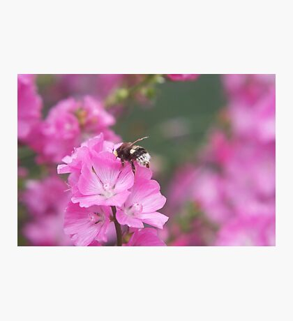Bee on mallow Photographic Print