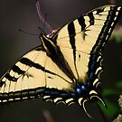 Papilio rutulus by Ronald Hannah