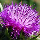New Thistle by Ronald Hannah