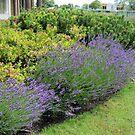Lavender Welcome von BlueMoonRose