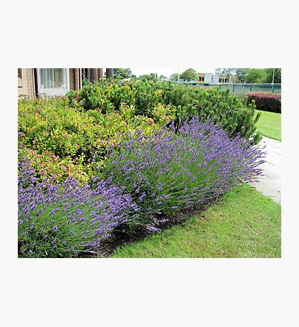 Lavender Welcome Fotodruck