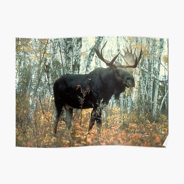 Huge Moose  Poster