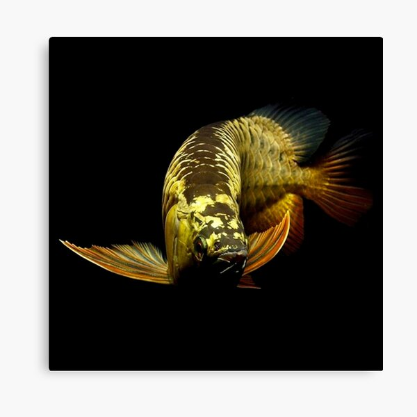 Golden Arowanas Canvas Print