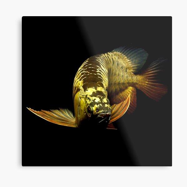 Golden Arowanas Metal Print