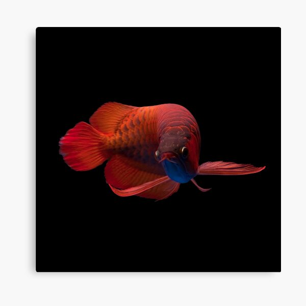 Red Arowana Canvas Print